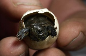 Hatching Western Pond Turtle - part of head start program for wild turtles at the Oregon Zoo.